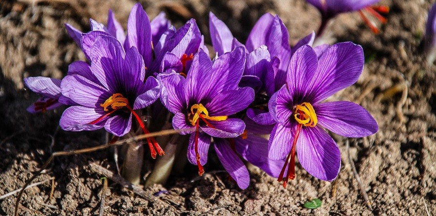 Why is Saffron so Expensive?